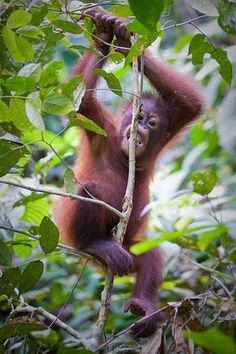Baby Orangutan, Sepilok Rehabilitation Centre, Sabah