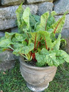 Swiss chard in a pot. Cut leaves and it will grow back quickly; harvest from it three times a month if you cut it all back, or just harvest the outer leaves and it will also continue to grow. Grows to 15º and can be colder if covered in winter. Will produce year-round.