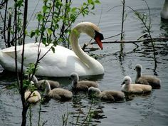 Swan with cygnets Beautiful Swan, Beautiful Birds, Animals Beautiful, Animals And Pets, Baby Animals, Cute Animals, Swans, Swan Pictures, Pond Life