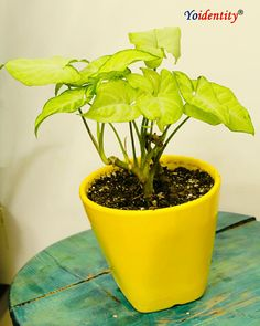 Syngonium White Mini. Buy Indoor Plants, Outdoor Plants, Online Plant Nursery, Natural Air Purifier, Buy Plants Online, Dom, Houseplants, Garden Tools, Planter Pots