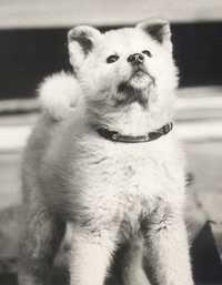 Hachi as a puppy