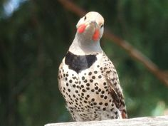 Northern Flicker - from the Images of Victoria Collection