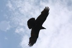 Silhouette of Raven flying in the sky over the Grand Canyon. This print is 8x10 and ready to be framed.