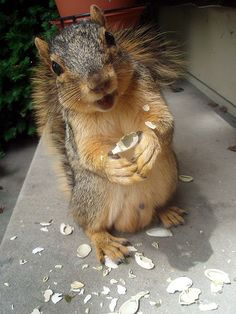 """Happy Squirrel on my Porch  I was sitting on my porch reading a magazine and this little guy came right up to me. As a reward I fed him some pumpkin seeds. I seriously think he is smiling at me in this photo! Sooooo cute!!!  Squirrels and Chipmunks: Happy squirrel."""
