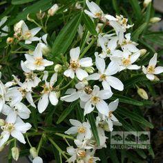 Choisya Aztec Pearl - Mexican Orange Blossom – Mail Order Trees