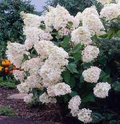 The so-called PeeGee Hydrangea, well loved by generations of gardeners and for good reason: in late summer it produces huge, conical trusses—up to 18″ long—of double flowers that are rich creamy white and fade gradually to pink and then brown. It forms a broad shrub to 10′ high. Flowers appear on new growth, so late winter or early spring is the best time to prune the overall shape or to remove any stems damaged during the winter.Hydrangea is a valuable genus of some 100 species of shrubs…