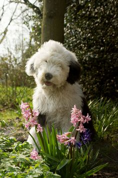 oh dear. I can't even handle it. Old English Sheepdog Puppy & spring blooms Beautiful Dogs, Animals Beautiful, Cute Animals, Sheep Dog Puppy, Dog Cat, Sheep Dogs, Baby Dogs, Dogs And Puppies, Doggies
