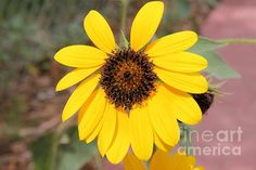 http://fineartamerica.com/featured/the-he-loves-me-sunflower-janice-rae-pariza.html