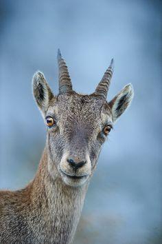 Female Ibex by Stefan Rosengarten on 500px