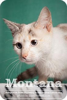 04/13/16 SL~~~Pictures of Montana a Siamese for adoption in Salem, OH who needs a loving home.