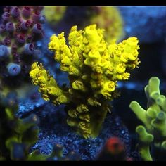 Acropora Desalwii - Bright doesn't even describe the intensity of this coral. Coral Frags, Sps Coral, Coral Tank, Coral Reefs, Coral Reef Aquarium, Nano Aquarium, Marine Aquarium, Marine Fish Tanks, Marine Tank