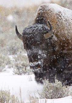 Winter in Yellowstone Park, Wyoming, United States of America.