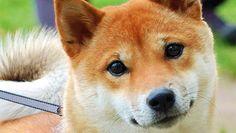 Google Afbeeldingen resultaat voor http://www.safeharboranimalrescue.org/Japanese_Shiba_Inu.jpg