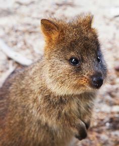 Quaka, Rottnest Island, WA  AUSTRALIA