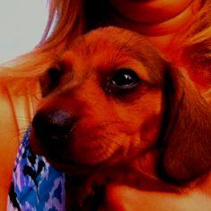 Miniature dachshund puppy for sale Dachshund Puppies For Sale, Weiner Dogs, Miniatures, Animals, Animales, Animaux, Weenie Dogs, Animal, Animais