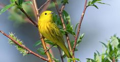 A Guide to Luring Warblers Tanagers Orioles and Grosbeaks to Your Yard #gardening #garden #DIY #home #flowers #roses #nature #landscaping #horticulture