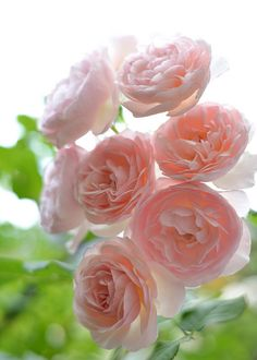 English Rose. I would have a garden of these!