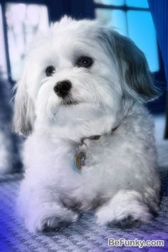 """Click visit site and Check out Best HAVANESE Shirts. This website is superb. Tip: You can search """"your last name"""" or """"your favorite shirts"""" at search bar on the top. #Abyssinian #Cat"""