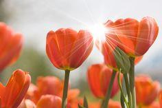 Tulipas, flores, botões de flores, brilho, natureza, flores Vetor