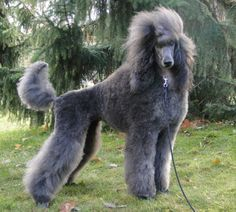 Silver Poodle, Poodle Haircut, Poodle Cuts, Dog Haircuts, Poodle Grooming, Dog Grooming Business, Fru Fru, Standard Poodles, Purebred Dogs