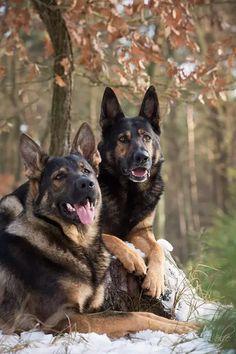 Sable German shepherds ...