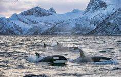 Breathtaking scenery around wonderful orcas in Norway.