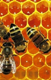 Propolis speeds healing of leg ulcers 6 weeks, it says. Now the questions are: Where do you get it? and will it break the bank?