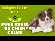 CE QUE TON CHIEN DOIT FAIRE ET NE PAS FAIRE !!!! - YouTube Cesar Millan, Basset Hound, Boxer, Border Collie, Fleas, Dog Cat, Corgi, Puppies, Cats