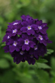 Purple Verbena- Verbenas are prolific bloomers! Makes a mat of dark green, dissected leaves on stems that sprawl and spread and are covered all season long with bright flower clusters from mid-spring to season's end. Overwinter a few cuttings inside in the north.   (see more at: http://www.bluestoneperennials.com/VEHP.html)