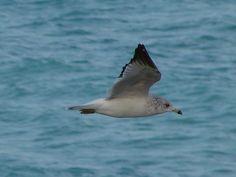 Caught in flight off of the beach in Jupiter FL - Atlantic Seagull