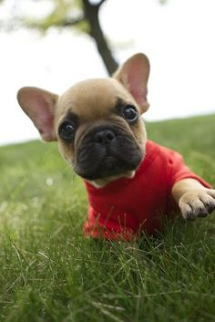 baby frenchie in a sweater
