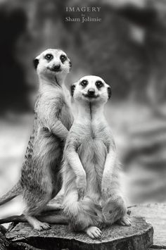 Photograph Meerkat Smiles by Sham Jolimie on 500px