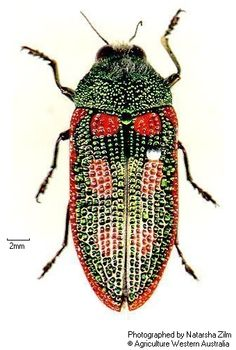 Stigmodera cancellata (jewel beetle)