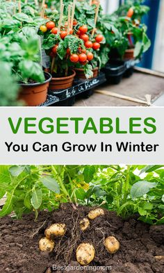 Growing vegetables in winter are a lot easier as compared to summers. Many of the vegetables can be grown faster in winter due to early crop springs. #vegetablegardenig #vegetables #grow #winter Vegetable Garden For Beginners, Home Vegetable Garden, Gardening For Beginners, Gardening Tips, Winter Temperature, Winter Crops, Urban Gardening, Growing Vegetables, Canning