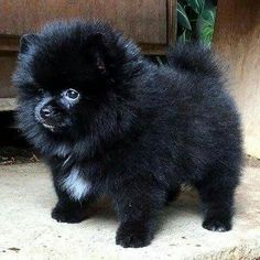 Marvelous Pomeranian Does Your Dog Measure Up and Does It Matter Characteristics. All About Pomeranian Does Your Dog Measure Up and Does It Matter Characteristics. Black Pomeranian Puppies, Pomeranian Facts, Cute Pomeranian, Puppy Husky, Cute Puppies, Cute Dogs, Dogs And Puppies, Doggies, Puppy Mix