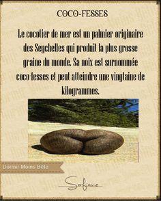 Le cocotier de mer est un palmier originaire de Seychelles qui produit la plus grosse graine du monde. Sa noix est surnommée coco-fesses et peut atteindre une vingtaine de kilogrammes.