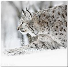 Photo Lynx in winter landscape by Jørn Hagen on 500px