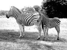 Zebra's / zoo / black&white / animal photography