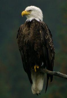 Eagle - Bald Raptors, Painting Inspiration, Bald Eagle, Birds, Animals, Art, Art Background, Animaux, Bird