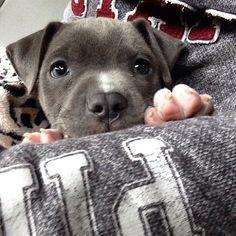 Baby Pitbulls, Cute Pitbulls, Pit Puppies, Cute Dogs And Puppies, Doggies, Cute Pitbull Puppies, Pomeranian Puppy, Cute Baby Animals, Animals And Pets