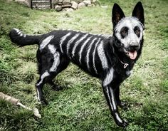 """So I painted my dog for halloween...""  THIS IS SO CUTE AH  #dogs #animals #halloween"