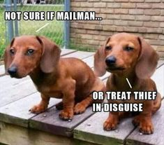Dachshund meme - doxies deciding whether to bark or not. (I think they will!) Funny Dog Memes, Funny Animal Memes, Funny Animal Pictures, Dog Pictures, Funny Dogs, Animal Jokes, Animal Pics, Funny Puppies, Adorable Pictures