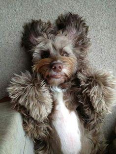 Tibetan Terrier one ofmy favorite kind of dog