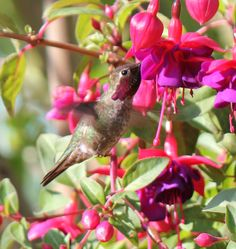 hummingbird visitor in our garden