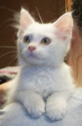 Adoptable Fridays: Meet Angel! Angel  is an adoptable American Shorthair Cat in Eldon, MO. Find out more about Angel! #fcpets #cats #animals #fcadoptablefridays