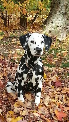 Dalmatian in Autumn