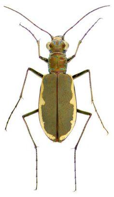 Beetles. - Art is a Way Carabidae.org for beetle images