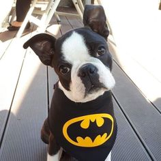 """Determine more details on """"boston terrier"""". Check out our web site. Boston Terrier Tattoo, Baby Boston Terriers, Boston Terrier Love, Terrier Dogs, Baby Pugs, Baby Puppies, Bulldog Puppies, Cute Animal Pictures, Puppy Pictures"""