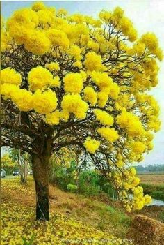 Mimosa tree - love these trees, their scent is beautiful! Mimosa tree - love these trees, their scen Trees And Shrubs, Flowering Trees, Trees To Plant, Bonsai Trees, Unique Trees, Colorful Trees, Tree Forest, Tree Tree, Nature Tree