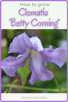 Clematis 'Betty Corning' Common Name: Clematis Plant Story: The delightful vine, Clematis 'Betty Corning' features slightly fragrant bell-shaped pale lilac flowers from June to September. New spring foliage is tinted bronze before maturing to dark green.  Click to learn more. Lilac Flowers, Summer Flowers, Colorful Flowers, Clematis Plants, Garden Plants, Powdery Mildew, Different Plants, Vines, September